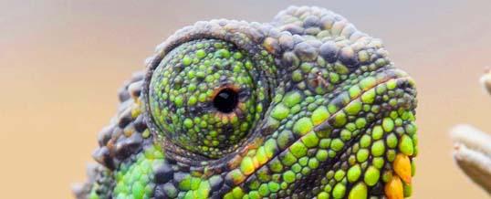 Une nouvelle espèce de caméléon